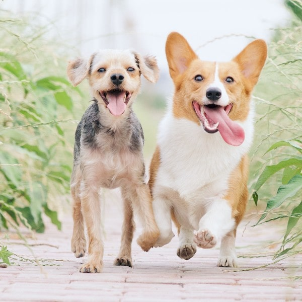 Two friendly dogs running towards you