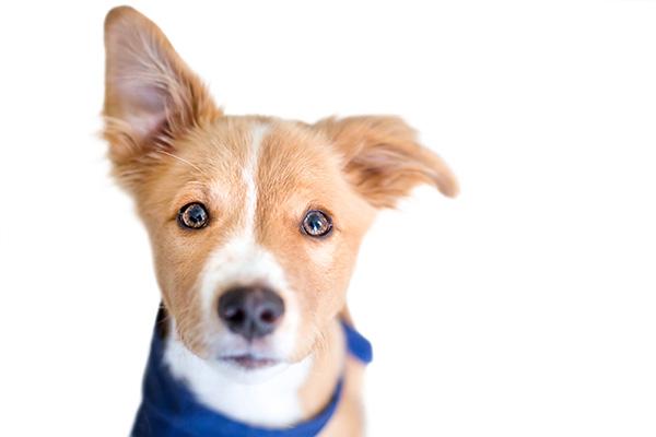 dog raising ear