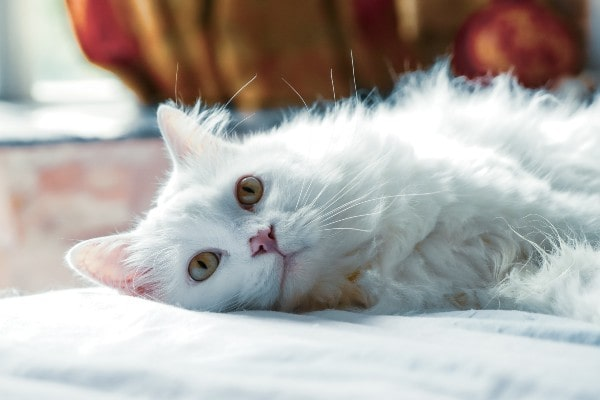 white furry cat laying down