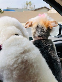 Poodle gets adopted
